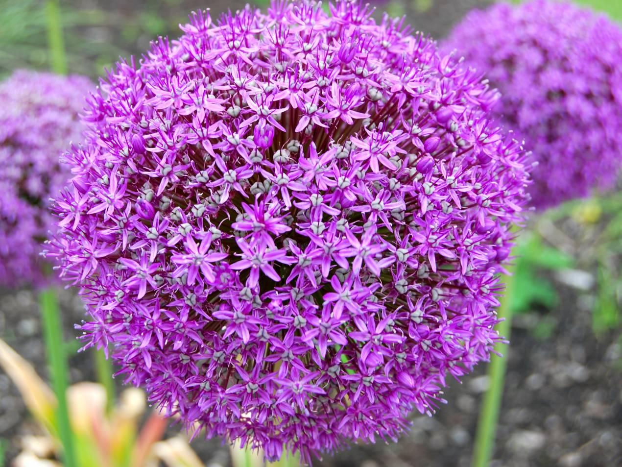 Aglio Gigante Allium Giganteum